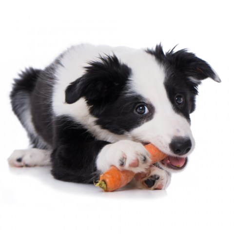 Collie Eating Carrot